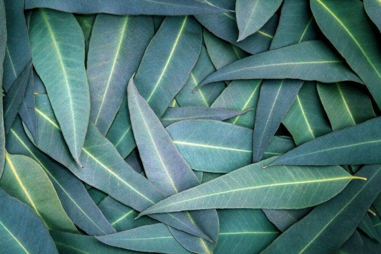 Eukaliptus - 5 sposobów na drogi oddechowe