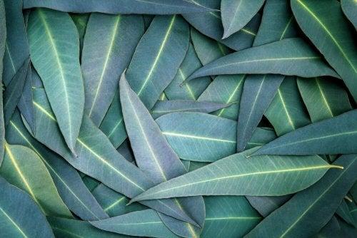 Eukaliptus – 5 sposobów na drogi oddechowe