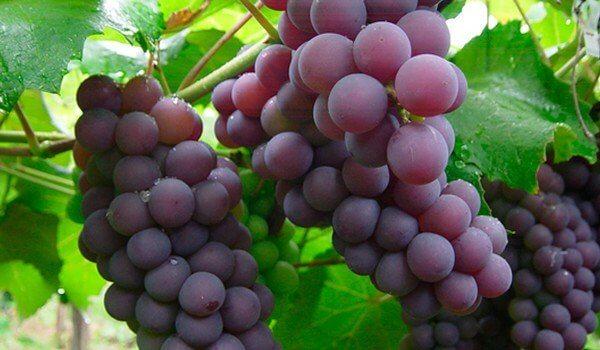 Kiście winogron.