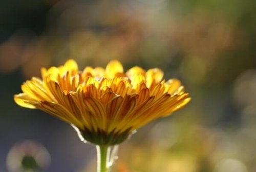 nagietek kwiat