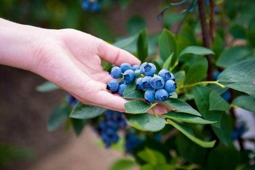 Uprawa jagód – jak wyhodować je w domu?