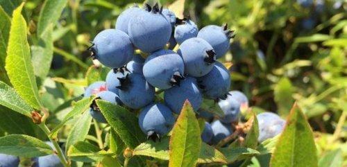 jagody uprawa jagód