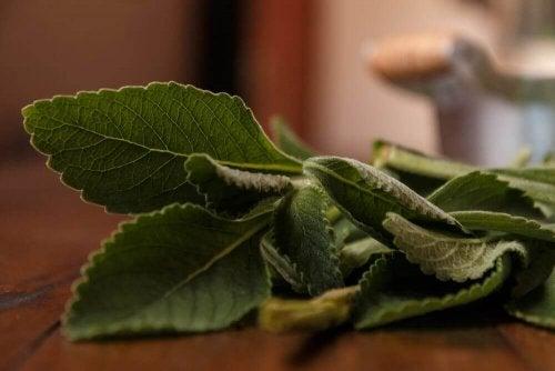 Boldo - naturalny lek na chorą wątrobę