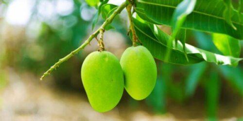 Liście mango