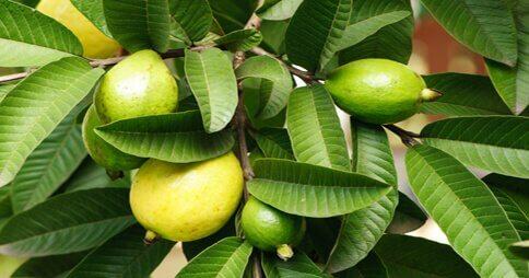 Owoce i liście gujawy