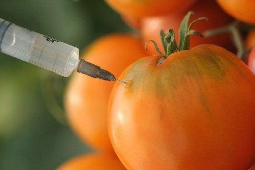 pomidory gmo