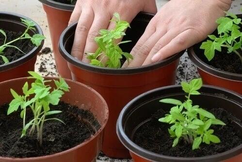 Domowa hodowla pomidorów