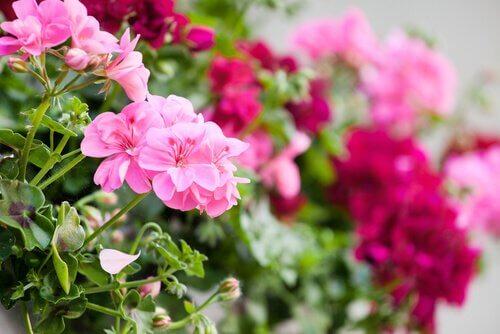 ogród na balkonie kwiaty