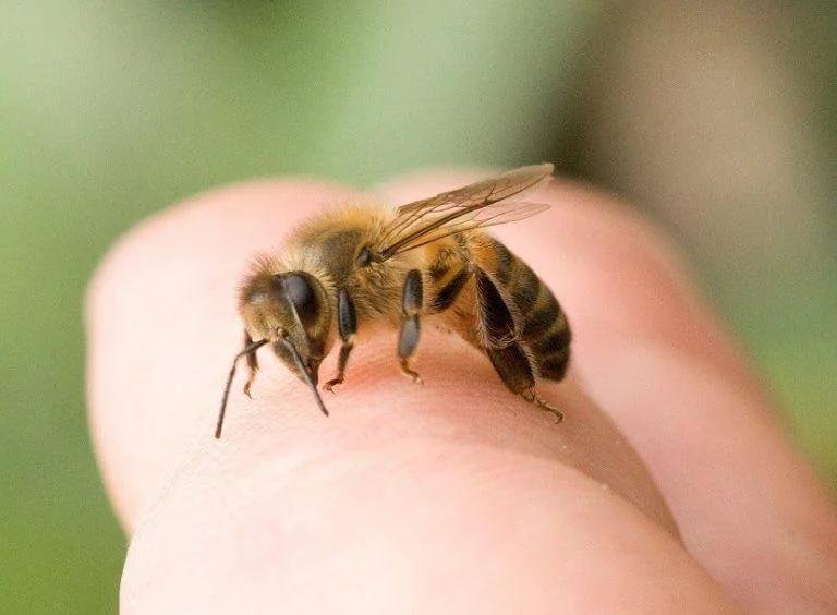 ukąszenia owadów - pszczoły