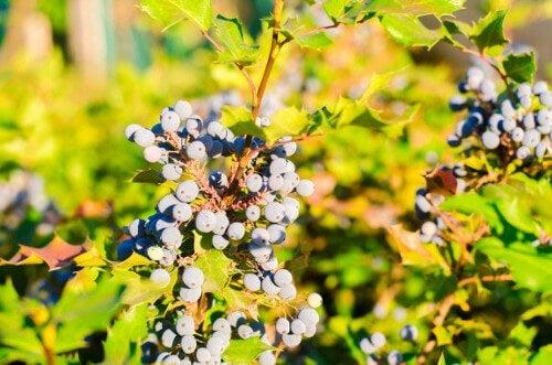 Winogrona na ziołowe terapie na łuszczycę