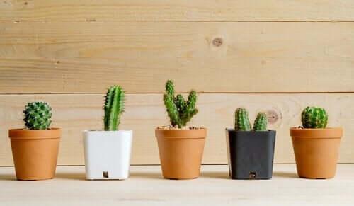 kaktusy - dekorowanie roślinami