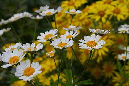 Kwiaty rumianku