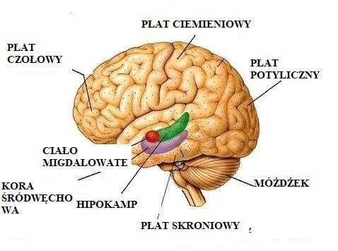 budowa mózgu - wpływ depresji na mózg