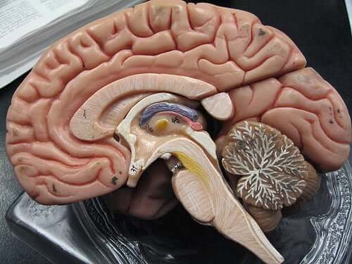 Przekrój mózgu