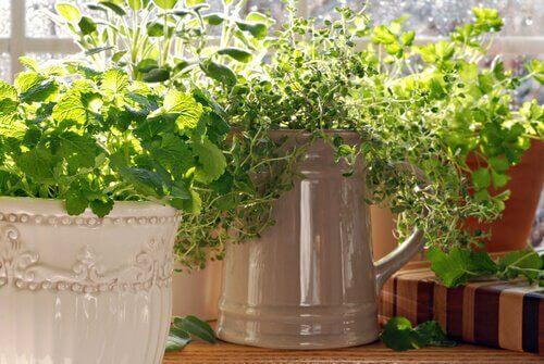 Tymianek i inne zioła w domu