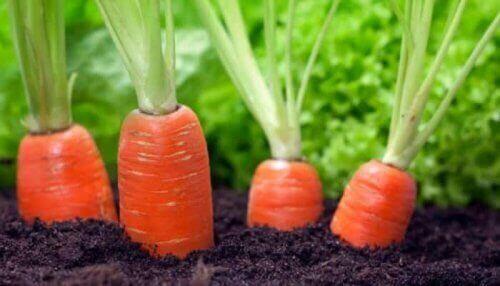 Zdrowa marchew w ziemi