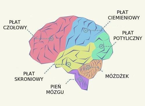 Płaty mózgu, czym one są i jakie funkcje spełniają?