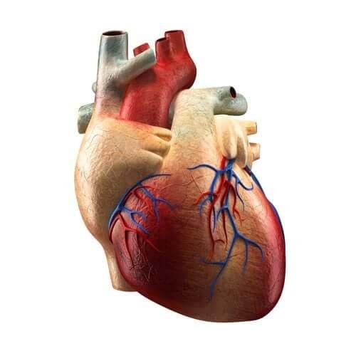 Części serca i ich funkcje - poznaj lepiej ten ważny dla nas organ