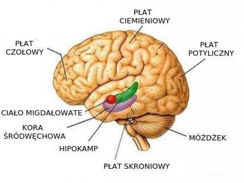 Poszczególne sekcje mózgu