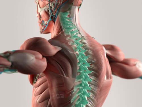 Nerwy rdzeniowe szyjne w kręgosłupie