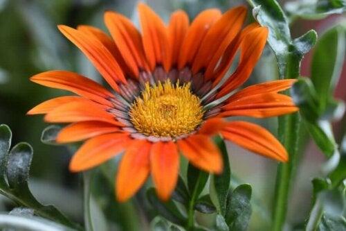Gazania - letnie kwiaty