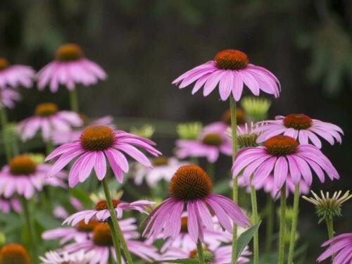 Letnie kwiaty -  różowa jeżówka