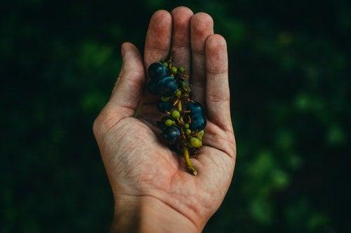 Winogrona na dłoni
