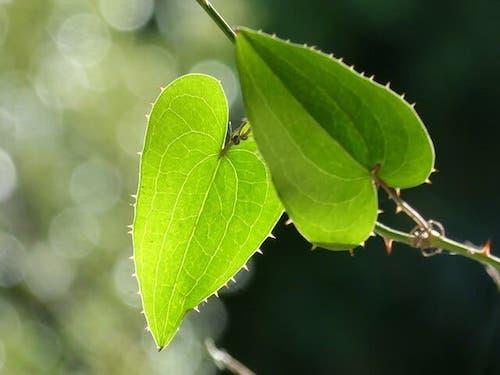 Sarsaparilla - korzyści, ryzyko i efekty uboczne