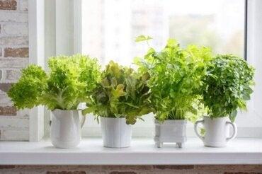 Rośliny kuchenne: jak je prawidłowo sadzić?