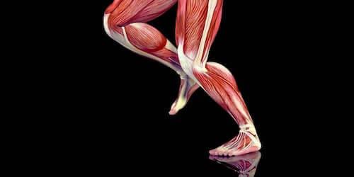 Mięśnie nóg