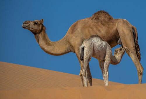 Mleko wielbłądzie: właściwości i zalety