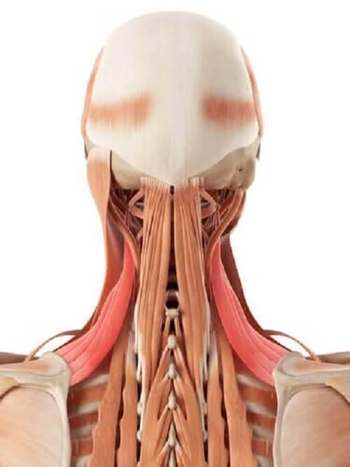 Anatomia szyi: kości i chrząstki