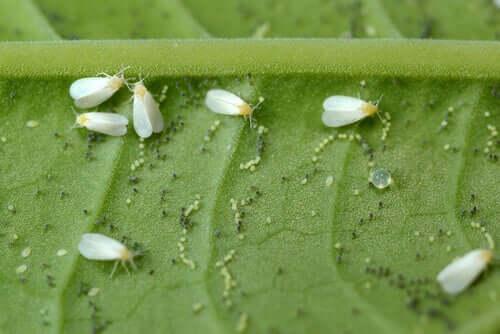 Białe muchy