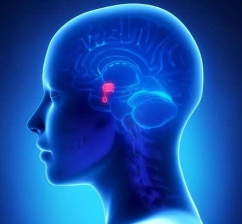 Przysadka mózgowa