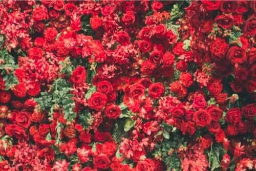 Czerwone rośliny - poznaj 6 najbardziej atrakcyjnych