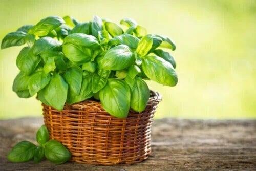 Bazylia: odmiany, które możesz uprawiać w ogrodzie