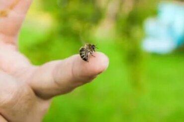 4 olejki eteryczne łagodzące ukąszenia pszczół