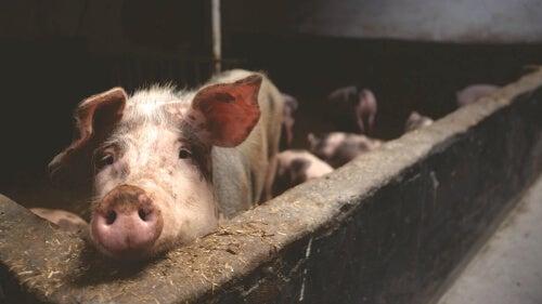 Świnie w hodowli