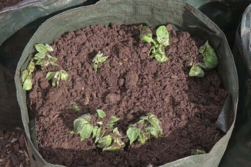 Uprawa ziemniaków w domu - samouczek dla początkujących