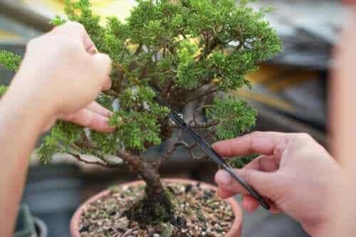 Drzewka bonsai - dowiedz się, jak je robić i pielęgnować