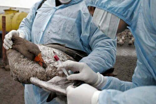 Ptasia grypa: objawy, diagnoza i leczenie